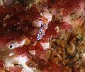 Cuthona speciosa, Ciudad del Cabo 2.jpg