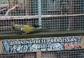 Cyanoliseus patagonus -The Parrot Zoo, Friskney, Lincolnshire, England-8a.jpg