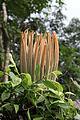 Cycas-ircinalis-Flower-from-Koovery.jpg