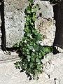 Cymbalaria muralis sl2.jpg