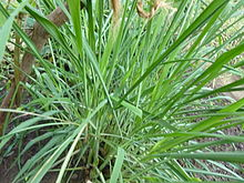Image result for Cymbopogon nardus