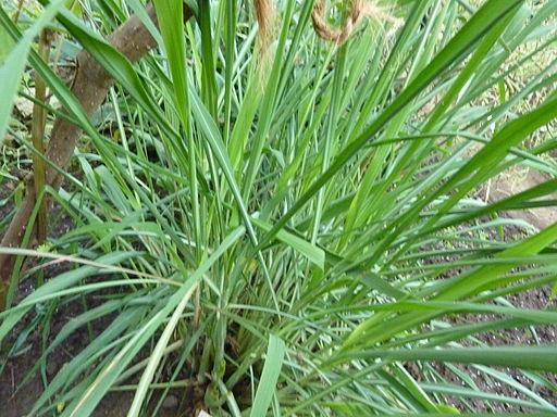 Cymbopogon nardus (DITSL)