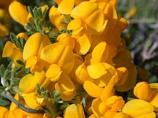 <i>Cytisus</i> genus of plants