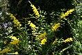 Cytisus x spachianus 6zz.jpg