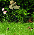 DSC 2772 1 7272 - Sparrow in Flight.jpg