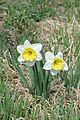 Daffodil (Narcissus sp.) - Kitchener, Ontario.jpg