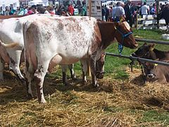 Dairy Shorthorn cow at Tullamore Show.jpg