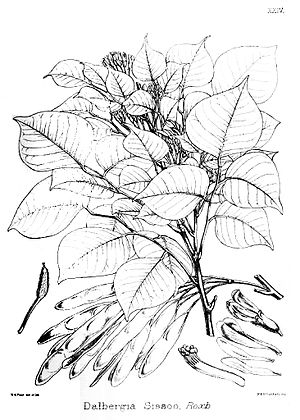 "Dietrich Brandis - Dalbergia sissoo from ""Illustrations of the Forest Flora of North-West and Central India"""