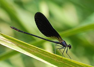 Damselfly July 2009-1a.jpg