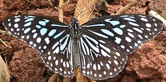 Tirumala (genus) - Tirumala septentrionis
