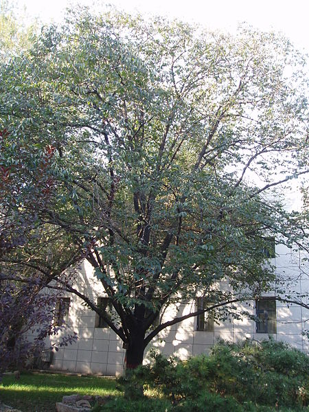 Fil:Date-plum tree.JPG