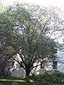 Date-plum tree.JPG