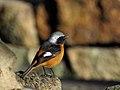 Daurian Redstart Male ジョウビタキ (240840119).jpeg