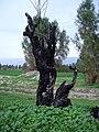 Dead tree مرگ درخت - panoramio.jpg