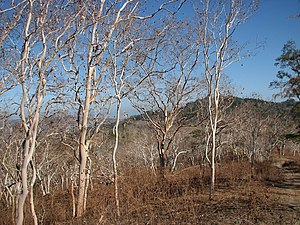 Deciduous Eucalyptus alba trees in late dry season, north of Wairoke, Luro, Lautem, Timor-Leste (30 Oct 2006).jpg