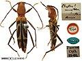 Demonax mustela (Pascoe, 1858) (Coleoptera Cerambycidae Clytini) (10157663655).jpg