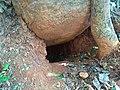 Den of Porcupine, Hystrix indica, image.jpg