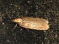Depressaria emeritella (14016508884).jpg