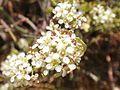 Desert Pepperweed (7064420859).jpg
