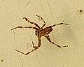 Diadem Spider, male.jpg