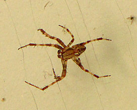 Diadem Spider, male.jpg