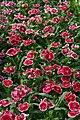 Dianthus chinensis Telstar Picotee 2zz.jpg