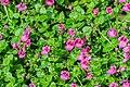 Diascia vigilis Divara Pink in Botanischer Garten Muenster.jpg
