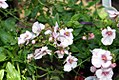 Diascia x hybrida Sun Chimes Blush Improved 1zz.jpg