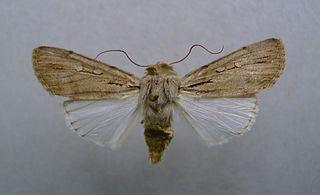 <i>Dichagyris</i> genus of insects