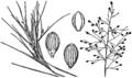 Dichanthelium aciculare (as Panicum aciculare) HC-1950.png