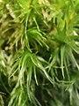 Dicranum scoparium 106228635.jpg