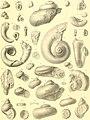 Die Gastropoden des karnischen Unterdevon (1907) (20912578752).jpg
