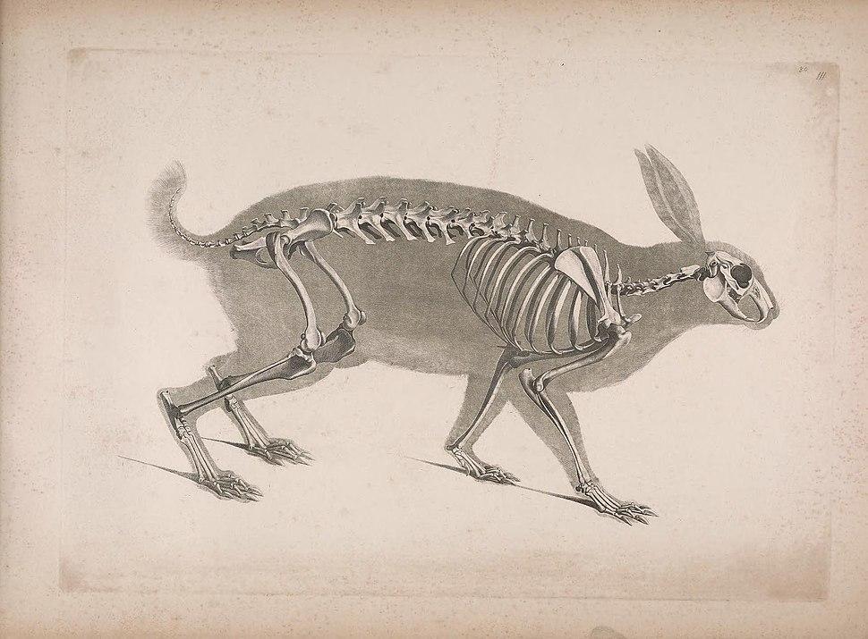 Die vergleichende Osteologie (1821) Lepus timidus