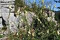 Digitalis grandiflora ENBLA02.jpeg