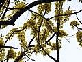 Dillenia pentagyna flowering by Dr. Raju Kasambe DSCN1362 (18).jpg