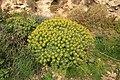 Dingli - Triq Panoramika - Cliffs - Euphorbia dendroides 04 ies.jpg