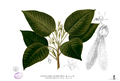 Dipterocarpus grandiflorus Blanco2.263.png
