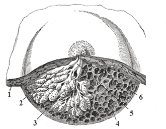 Duct (anatomy) - Dissection of a lactating breast. 1 - Fat 2 - Lactiferous duct/lobule 3 - Lobule 4 - Connective tissue 5 - Sinus of lactiferous duct 6 - Lactiferous duct