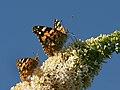 Distelfalter, Vanessa cardui AUF Schmetterlingsflieder, Buddleja davidii 3.JPG