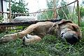 Dog lazing at Stanzin Odzer's guest house in Leh in 2009.jpg