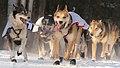 Dogs run by Anna Berington (8529502959).jpg