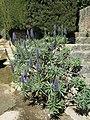 Domaine des Colombières - Echium candicans.jpg