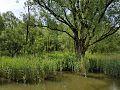 Doorgeschoten griend in de biesbosch.jpg