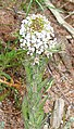 Downy Pepperwort (Lepidium heterophyllum) - geograph.org.uk - 1393693.jpg