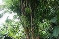 Dracaena americana 5zz.jpg