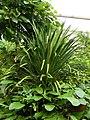 Dracaena umbraculifera Jacq.jpg