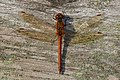 Dragonfly (10494060753).jpg