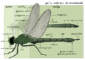 Dragonfly anatomy Tamil- Final.png