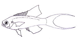Drawing of Callanthias ruber.jpg