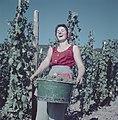 Druivenplukster wijnkoniging Mosella met een emmer druiven, Bestanddeelnr 254-6091.jpg